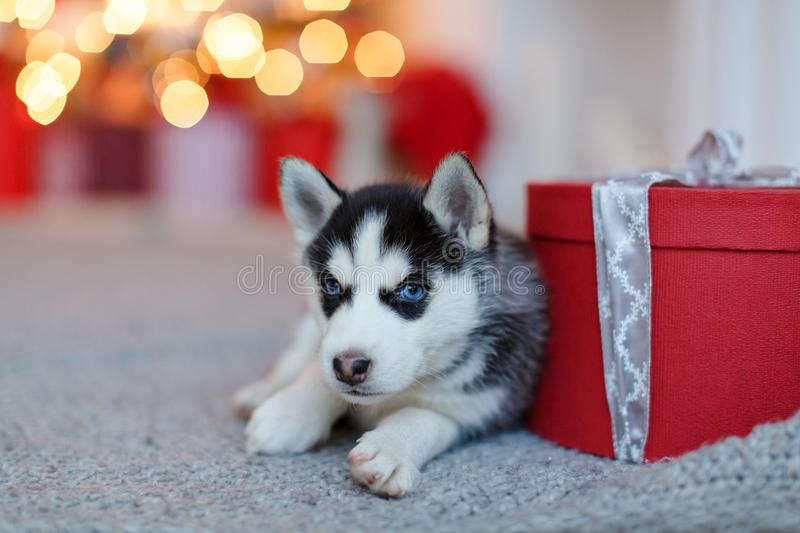 A small cute black and white Husky puppy lies at the red gift, b stock photo