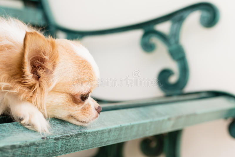 Small cute brown chihuahua dog sitting on green metal bench stock photos