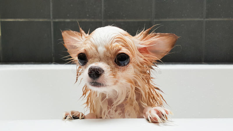Small cute brown chihuahua dog waiting in the tub after taking a stock images