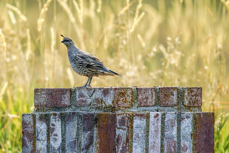 Quail on brick object. A small cute California quail perched on a brick structure near Hauser Lake, Idaho royalty free stock photos