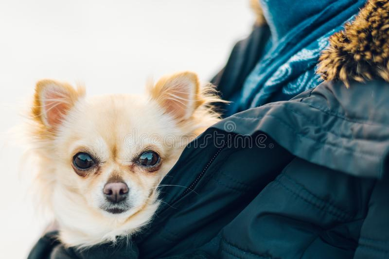 Small cute chihuahua dog in arms. Cute young puppy, big eyes, be. Autiful face. Sunset on background royalty free stock images