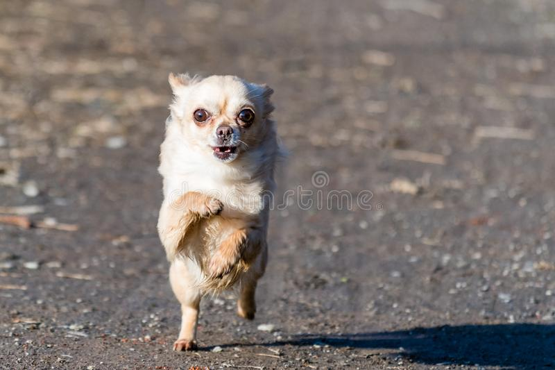 Fantastic Chihuahua Canine Adorable Dog - small-cute-chihuahua-dog-fast-running-directly-to-camera-young-adorable-beige-111886290  Photograph_46266  .jpg
