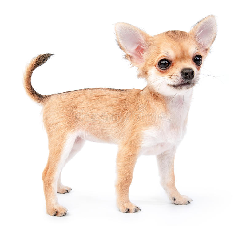 Small cute chihuahua puppy standing on white stock photos