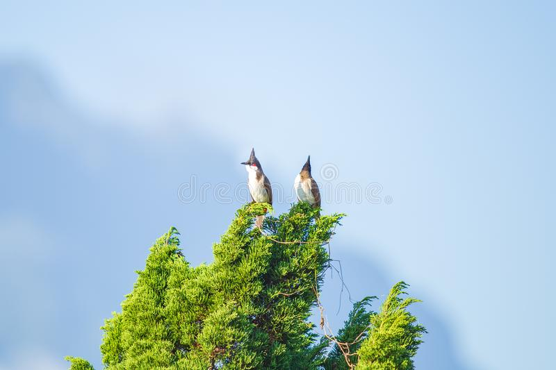 Small cute colorful two or double birds on the top of pine tree. Bird background royalty free stock photos