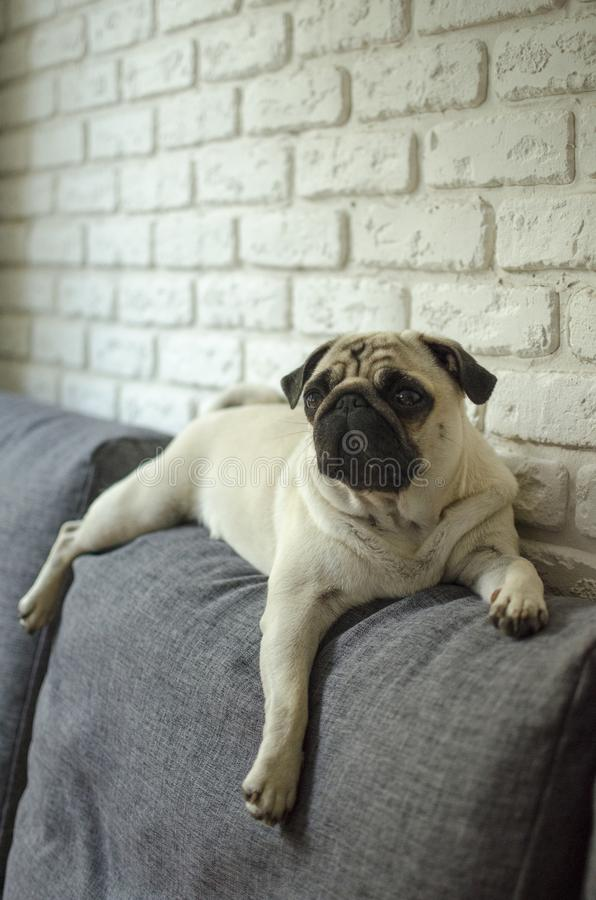 Fantastic Pug Canine Adorable Dog - small-cute-dog-breed-pug-lying-pillows-looking-straight-106173196  Gallery_16519  .jpg
