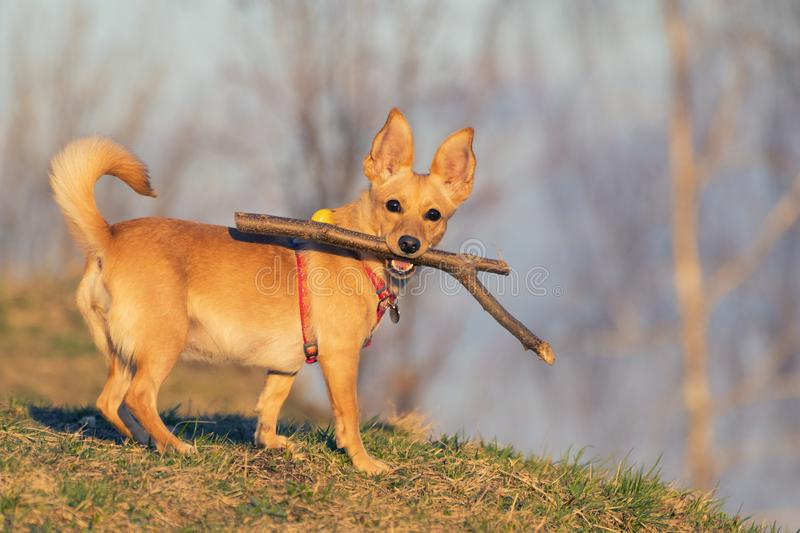 Small cute dog holding a wooden stick in its mouth and looking this way. Small cute dog lit by golden sunlight holding a wooden stick in its mouth and looking stock photography