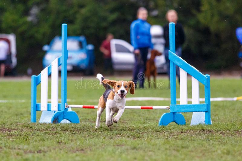 Small cute dog jumping over the obstacle on dog agility sport competition.  royalty free stock photo