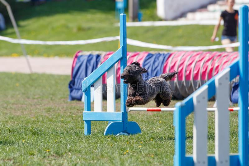 Small cute dog jumping over the obstacle on dog agility sport competition.  royalty free stock images