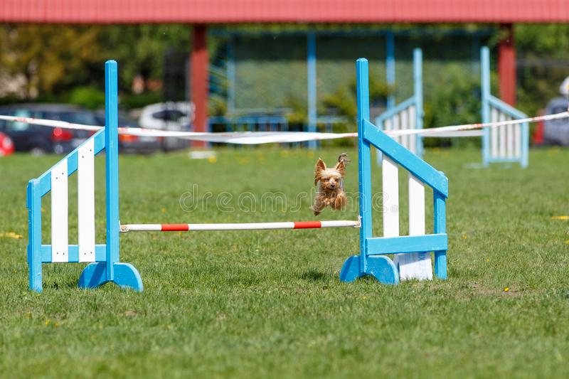 Small cute dog jumping over the obstacle on dog agility sport competition.  stock image