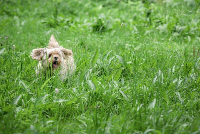 Small cute dog running through tall grass stock photography