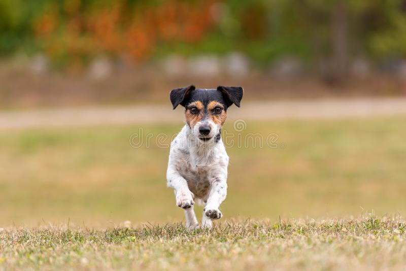 Small cute dog runns over a green meadow. Jack Russell Terrier Hound 8 years old royalty free stock photos