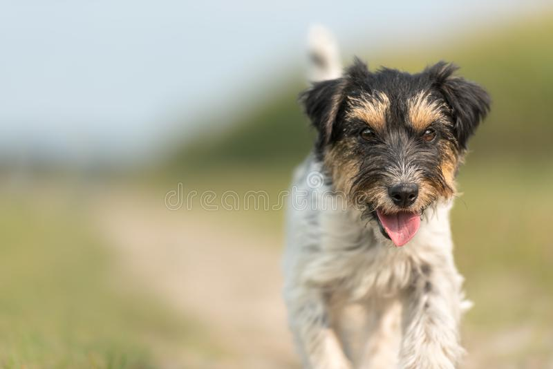 Small dog runs down a street in front of a blurred background. Jack Russell Terrier 2.5 years old royalty free stock photos