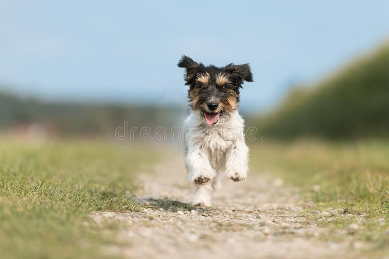 Small dog runs down a street in front of a blurred background. Jack Russell Terrier 2.5 years old. Small  cute dog runs down a street in front of a blurred stock photography