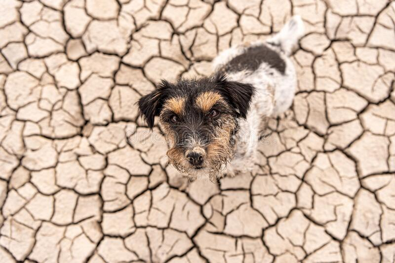 Cute dog are sitting in a dry sandy desert and looking up - dirty Jack Russell Terriers stock photos
