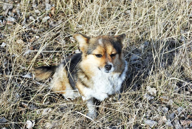 Small cute fluffy dog with white, brown and black patches sitting on glade with rotten grass. Spring sunny day in park, top view stock photo