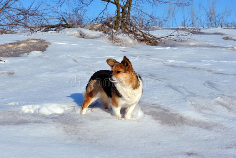 Small cute fluffy dog with white, brown and black patches standing on snow and looking, winter sunny day in park, bushes. And blue sky on background royalty free stock image