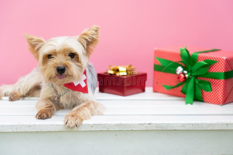 Small cute funny Yorkshire Terrier puppy dog in a Christmas in w stock image