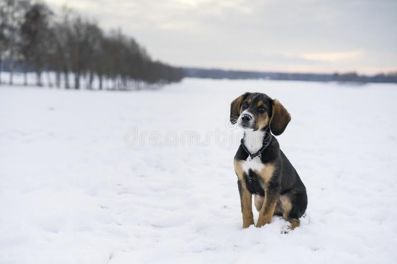 Small cute harrier puppy dog sitting outdoors on snow in Swedish nature and winter landscape royalty free stock images