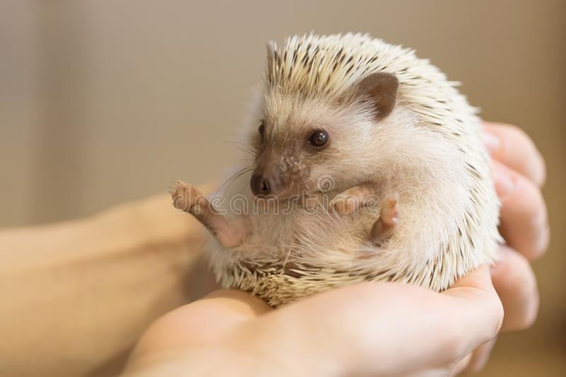 Small cute hedgehog in female hands. Atelerix albiventris royalty free stock photography