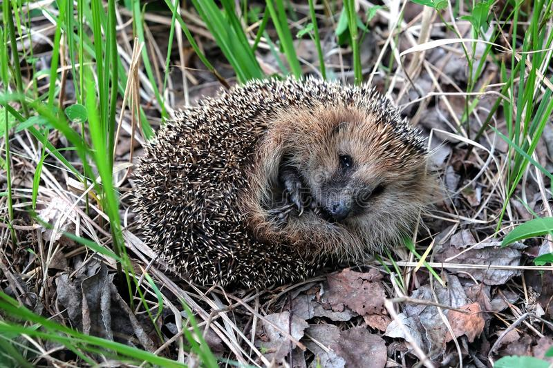 Small cute hedgehog with many sharp needles rests in the forest looks to camera in green grass and dry leaves stock image