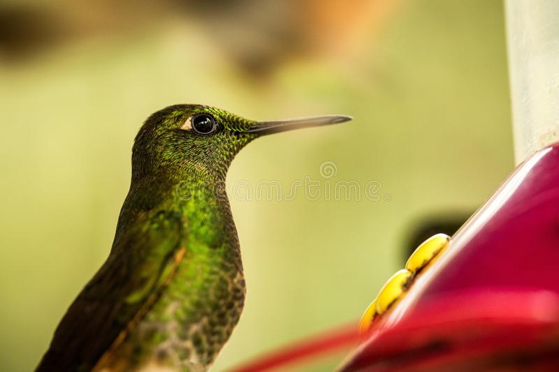 Small cute hummingbird in tropical cloud forest,Colombia,bird hovering next to red feeder with sugar water, garden,clear backgroun. D,nature scene,wildlife stock photography
