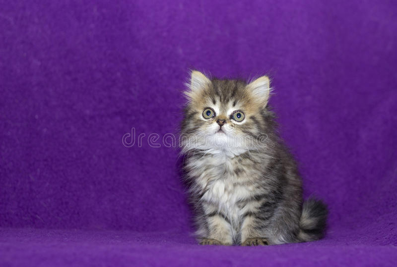 Small cute kitten. Lying and looking royalty free stock photos