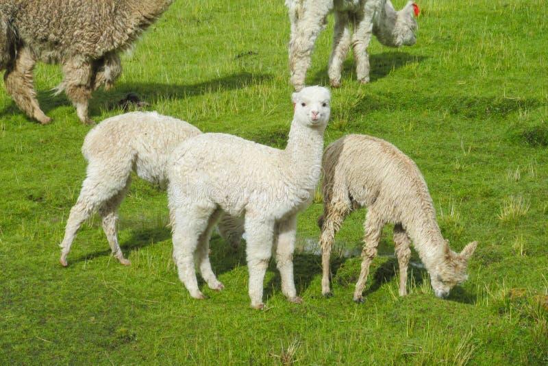 Small cute lama in a herd stock image