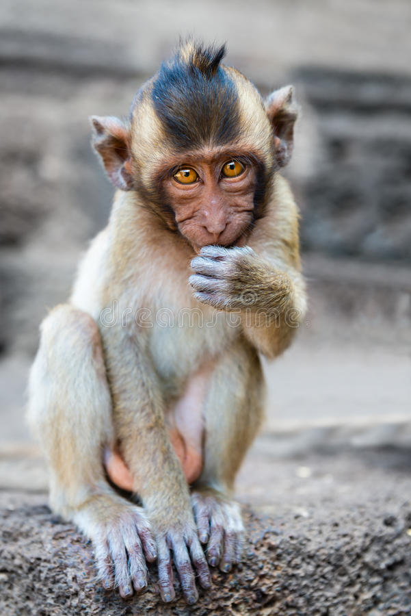Download Small Cute Monkey Sitting And Looking In The Camera Stock Image - Image of eyes, asia: 69809757