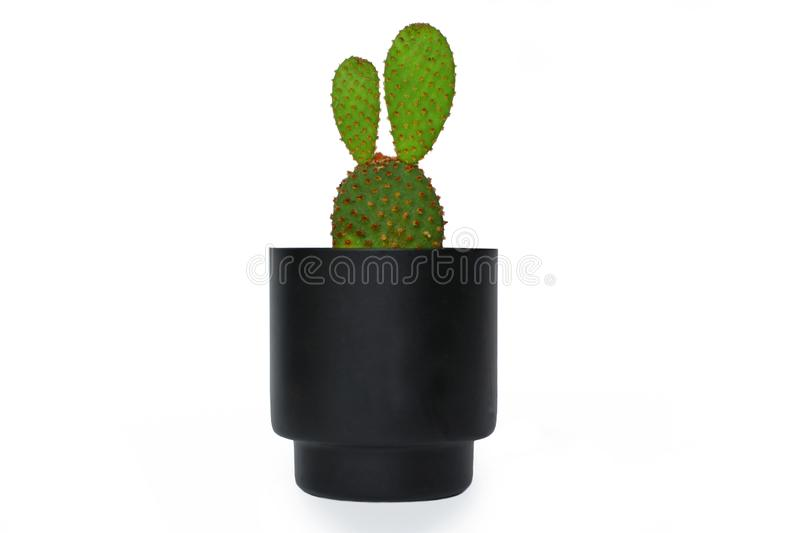 Cute Opuntia Microdasys, Angelwings, Bunny Ears or Polka Dot cactus plant in a small black flower pot isolated on white back stock images