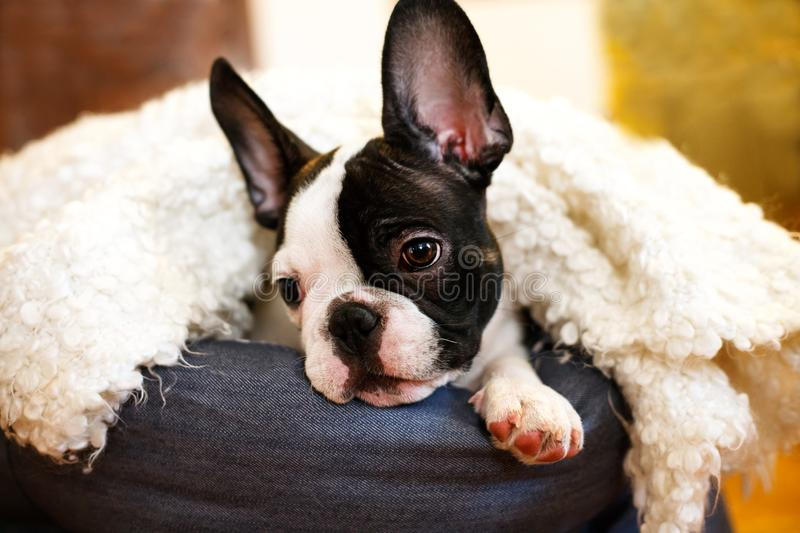Small cute puppy royalty free stock photos