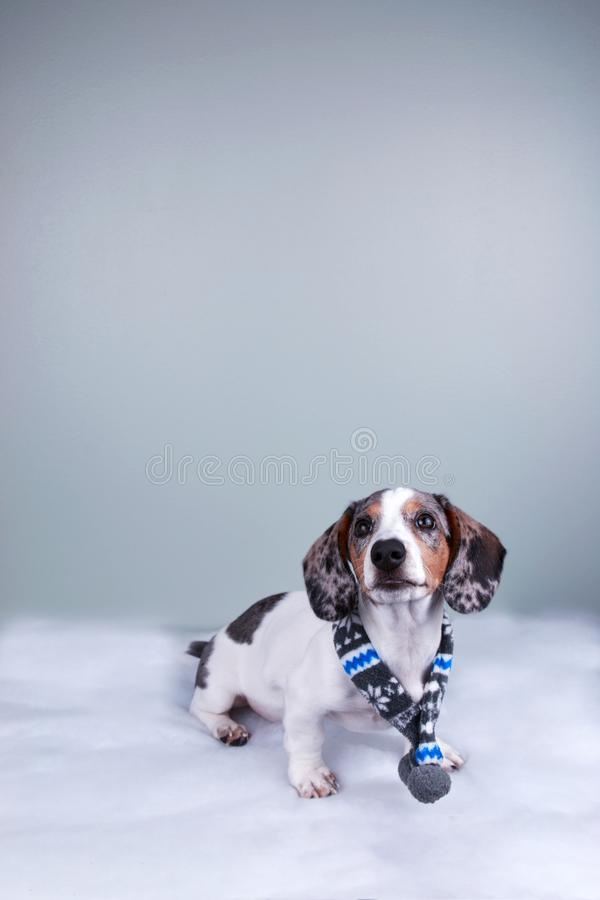 Small cute sausage dachshund doxie dog wearing winter scarf on plain blank background stock photos