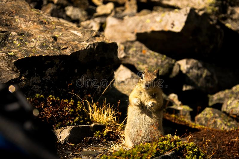 Small and cute squirrel in the Rocky Mountains, Banff National Park, Alberta, Canada. Relax, explore, do whatever you want stock image
