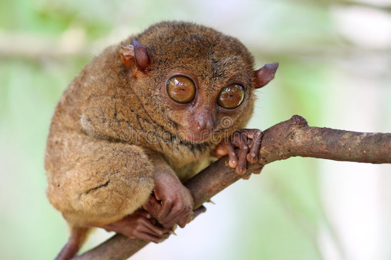 Small and cute tarsier. In Bohol island, Philippines stock photo
