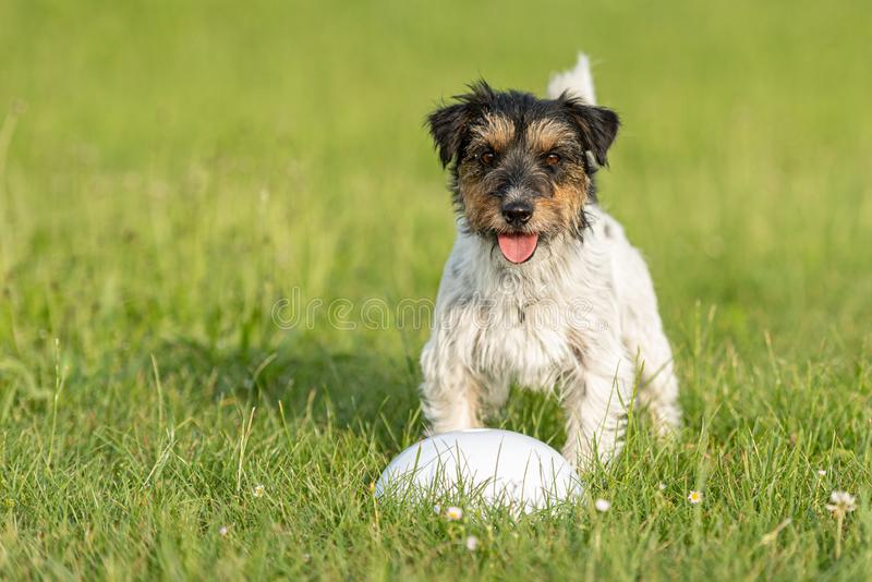 Small cute tricolor Jack Russell Terrier is standing at a bullet and is waiting. Sporty obedient dog in training. Small Jack Russell Terrier is standing at a stock images