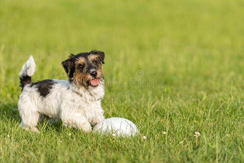 Small cute tricolor Jack Russell Terrier is standing at a bullet and is waiting. Sporty obedient dog in training. Small Jack Russell Terrier is standing at a royalty free stock photo