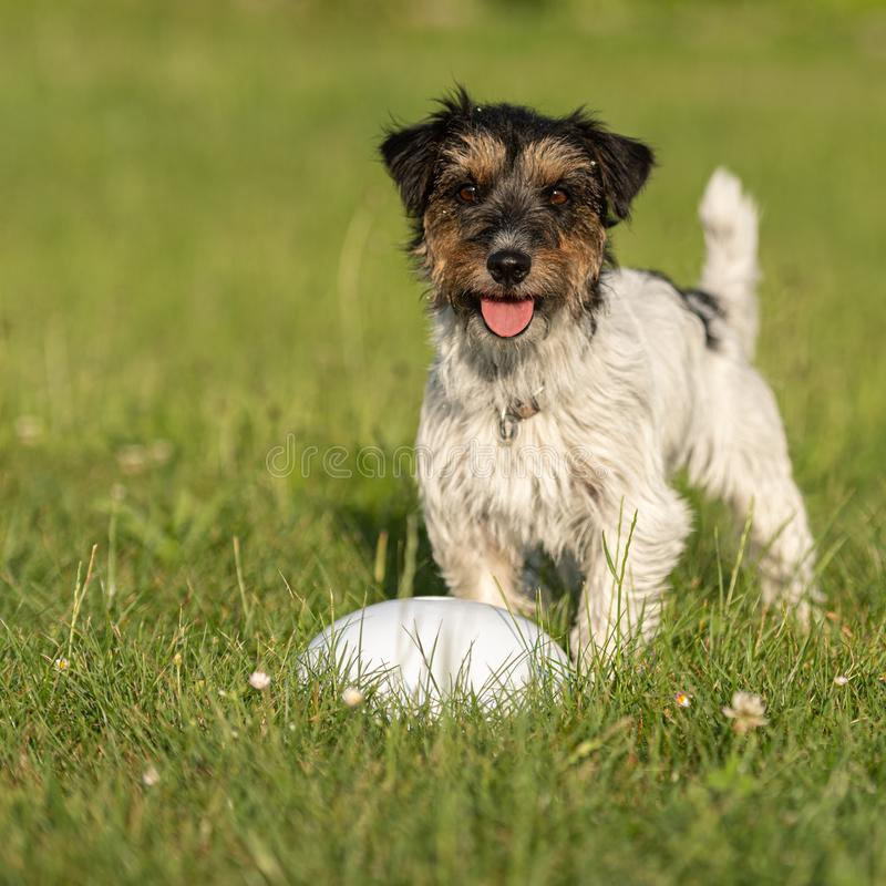 Small cute tricolor Jack Russell Terrier is standing at a bullet and is waiting. Sporty obedient dog in training. Small Jack Russell Terrier is standing at a royalty free stock images