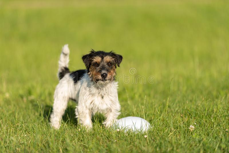 Small cute tricolor Jack Russell Terrier is standing at a bullet and is waiting. Sporty obedient dog in training. Small Jack Russell Terrier is standing at a stock photography