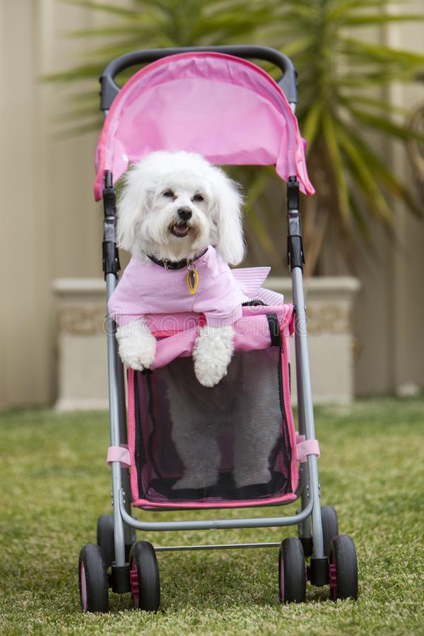 Small cute white Dog wearing a pink shirt stands on two legs in a pink Pram royalty free stock photo