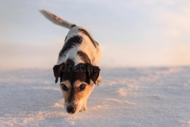 Small cute 9 years old frozen Jack Russell Terrier dog is going over a snowy meadow in winter royalty free stock images