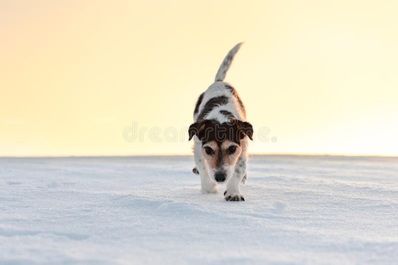 Small cute 9 years old frozen Jack Russell Terrier dog is going over a snowy meadow in winter stock photos