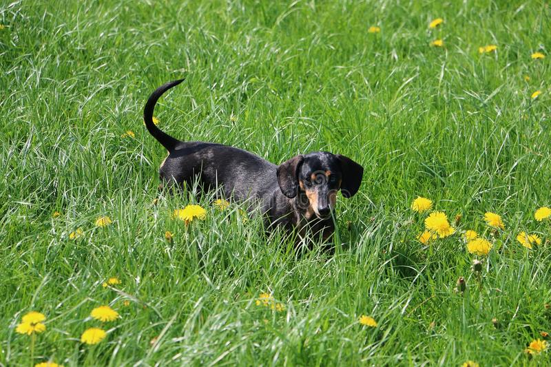 Small dachshound portrait on a field with dandelions stock image