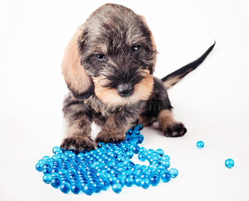 Download Small dachshund stock photo. Image of many, balls, puppy - 8490824