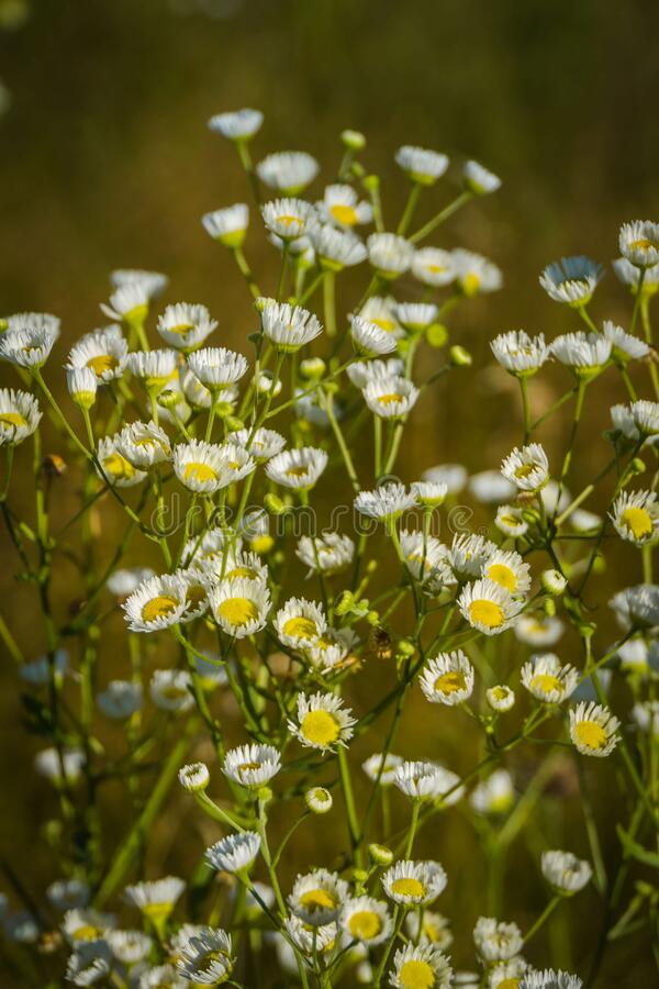 Small daisies in the grass field royalty free stock photography
