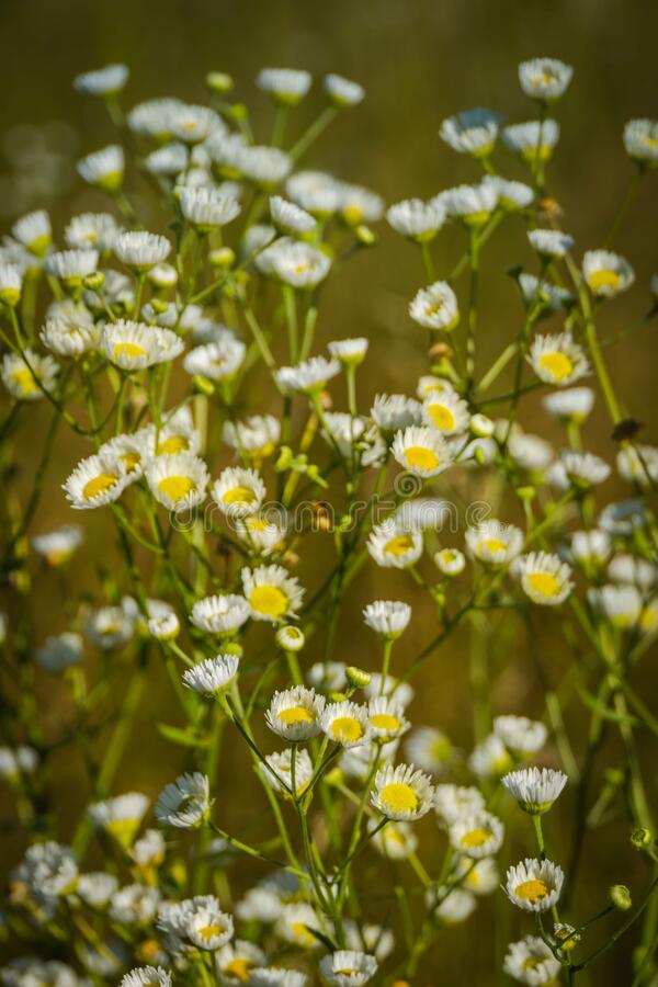 Small daisies in the grass field stock photo