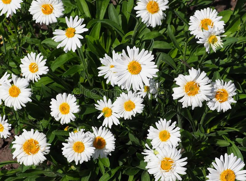 Small Daisies stock images