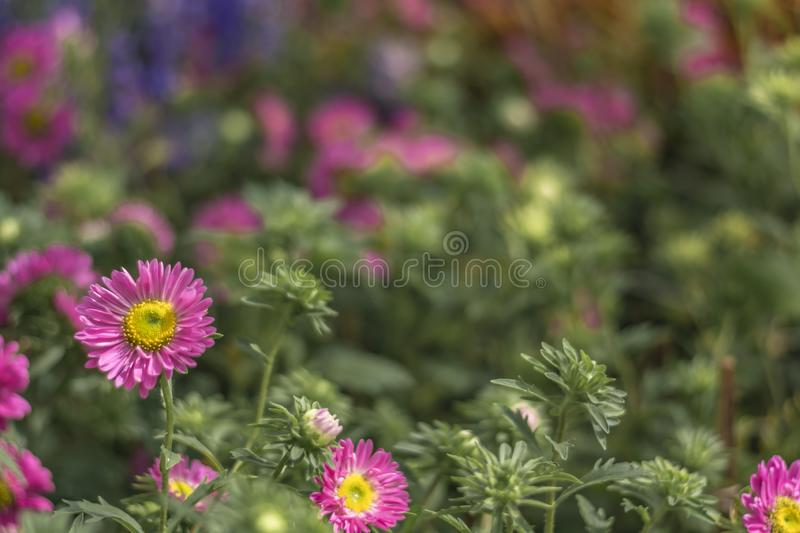 Small Daisy / Sunflower with blurred Garden background stock images