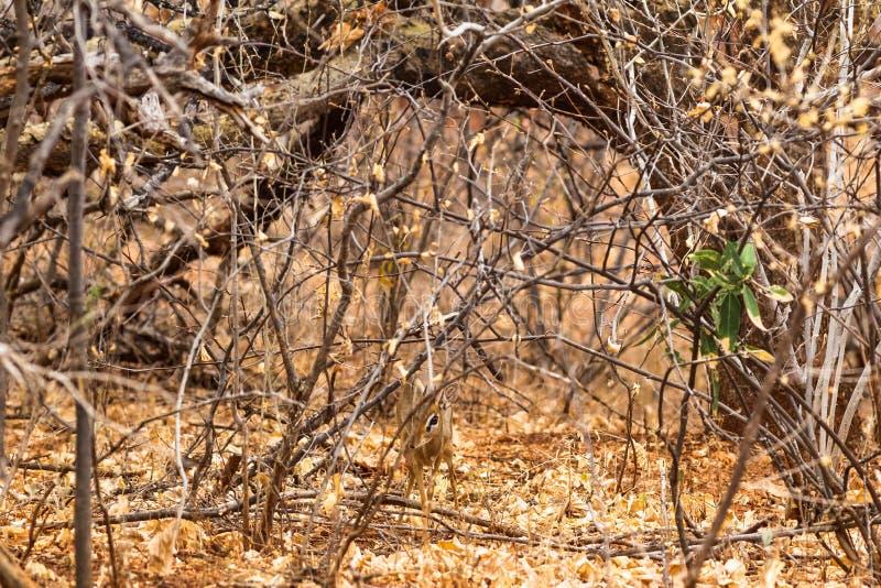 Small damara dik-dik in the bush. Meru, Kenya stock image