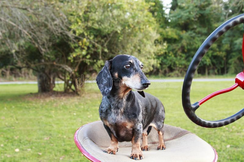 Small Dapple dachshund standing on a tractor seat royalty free stock image
