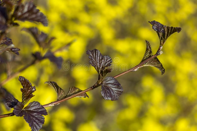 Small dark brown leaves on a branch close up on a blurred background of bright yellow flowers royalty free stock photos