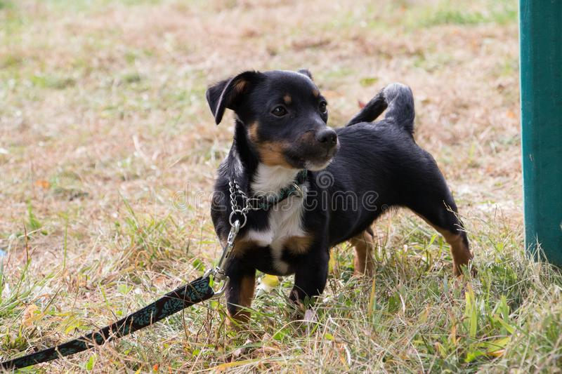 A dark colored dog on a lead in the garden. A small dark colored (mongrel) dog on a strong leather lead in the garden beside a green (clothes) post royalty free stock photo